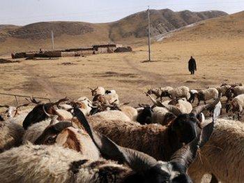 Тибетские скотоводы ведут борьбу за выживание в условиях исчезновения пастбищ. Фото с savetibet.ru