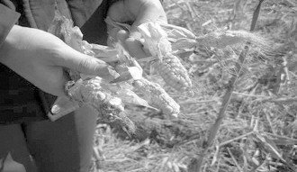 Из-за сильного загрязнения почвы и воды кукуруза вырастает очень мелкая. Уезд Юаньши провинции Хэбэй. Фото: finance.ifeng.com