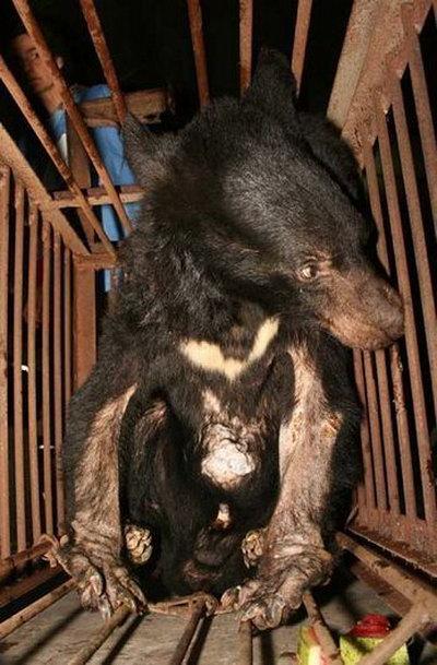 И маленькие медведи тоже не могут избежать мучения. Фото: 360doc.com