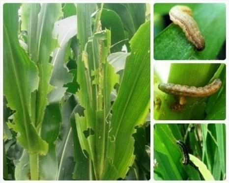 В Китае миллионы гектар посевов страдают от нашествия вредных насекомых. Фото с epochtimes.com