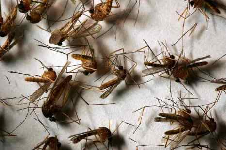 Учёные-энтомологи из Университета Калифорнии пришли к выводу. Комары, оказывается, ищут свою жертву не бессознательно, а руководствуясь запахом крови и её составом. Фото: David McNew/Getty Images