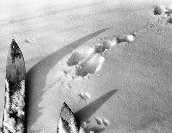 Следи зайца-беляка и горностая. Фото: Дмитрий Житенёв