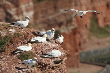 Остров Гельголанд в Германии стал домом для тысяч птиц. 4 августа 2013 года. Фото: Sean Gallup/Getty Images