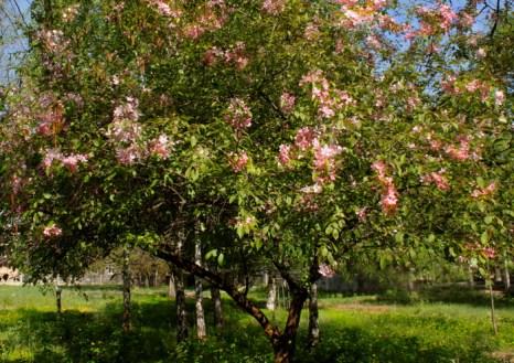 Цветение вишни. Фото: Ирина Рудская/Великая Эпоха (The Epoch Times)