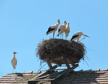 Как нужно строить гнездо. Фото: Николай Богатырев