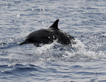 Дельфин. Фото: Ishara S. KODIKARA/AFP/Getty Images