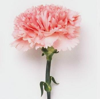 Дарите женщинам цветы со смыслом. Розовая гвоздика. Фото с сайта ba-bamail