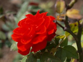 Дарите женщинам цветы со смыслом.Красная роза. Фото: Хава ТОР/Великая Эпоха