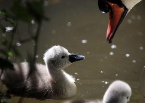 Фотогалерея о лебедях-шипунах в Англии. Фото: Matt Cardy/Getty Images