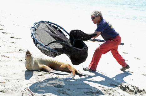 В Калифорнии по неизвестной причине гибнут сотни морских львов. Фото: Kevork Djansezian/Getty Images