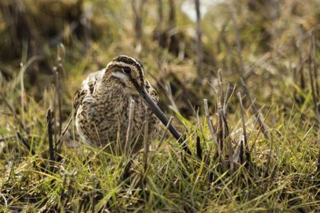 Снайп на болоте Элмлей. Фото: Dan Kitwood / Getty Images