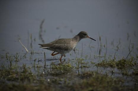 Щёголь на болоте Элмлей. Фото: Dan Kitwood / Getty Images