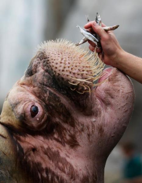 Морж на инвентаризации в зоопарке Хагенберг. Фото: Joern Pollex/Getty Images