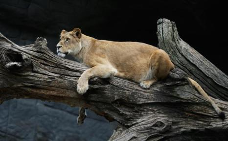 Лев на инвентаризации в зоопарке Хагенберг. Фото: Joern Pollex/Getty Images