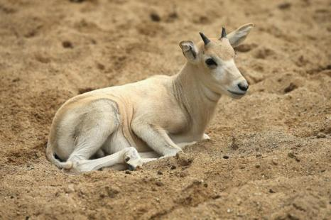 Детёныш африканской антилопы впервые показался публике в бруклинском зоопарке 2 июля 2013 года.  Фото: Scott Olson/Getty Images