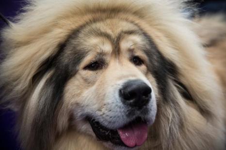Тибетский мастиф на самой престижной выставке собак в США — Вестминстерской, 11 февраля в Нью-Йорке.  Фото: Andrew Burton/Getty Images