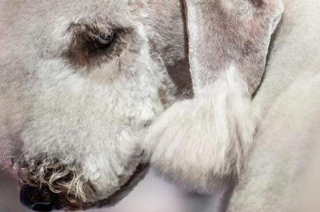 Международный чемпионат по стильным собачьим стрижкам прошёл в Барселоне