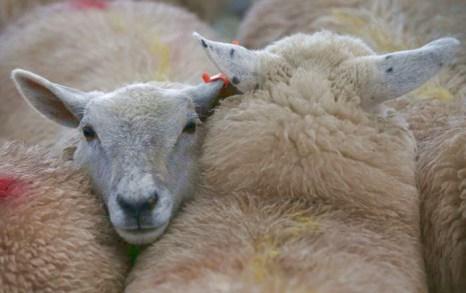 Юго-Западная зимняя ярмарка скота в английском Бриджуотере открылась 25 ноября 2013 года. Фото: Matt Cardy/Getty Images