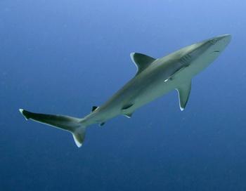 Акула. Фото из архива РИА Новости
