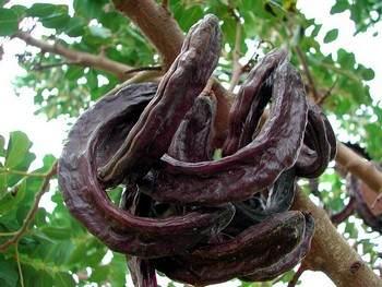 Плоды рожкового дерева. Фото: en.wikipedia.org
