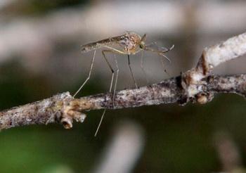 Пожалуй, самые распространенные насекомые – это комары. Фото: Justin Sullivan/Getty Images