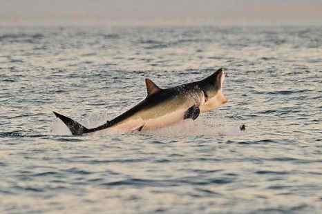 Большая белая акула выпрыгивает из воды во время охоты. Фото: CARL DE SOUZA/AFP/Getty Images