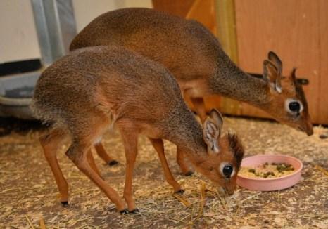 Семейство антилоп дикдик. Фото: Chester Zoo