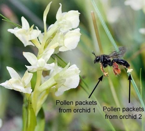 Различные сорта орхидей из группы «Горициных» используют одних и тех же пчел для опыления.  На фото пчела на длинном стебле орхидеи.