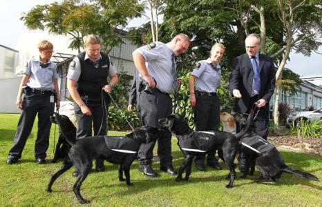 Собаки-лабрадоры на службе биобезопасности Новой Зеландии. Фоторепортаж. Фото: Simon Watts/Getty Images)