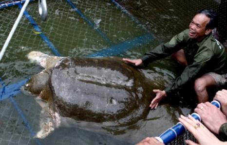 Священную черепаху выловили в Ханое. Фото: HOANG DINH NAM, STR/AFP/Getty Images