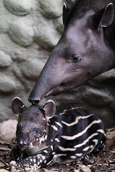 Тапиры. Заботливая мама. Фото: Getty Images