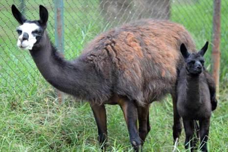 Лама glama – одомашненный вид. Относится к семейству  верблюдовых. В отличие от большинства парнокопытных, у лам конечности оканчиваются не копытами, а двумя пальцами с тупыми искривленными когтями. Фото: Getty Images