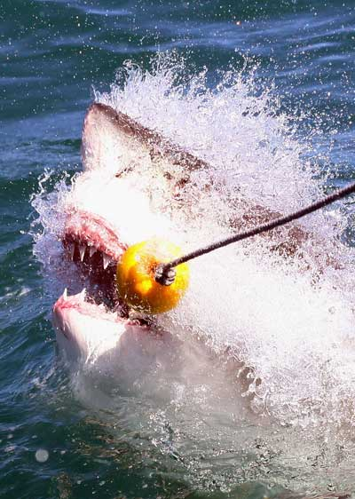 Большая белая акула захватывает наживку. Фото: Dan Kitwood/ Getty Images