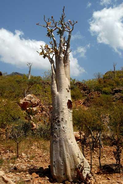 Сокотра. Странное местное дерево. Фото: KHALED FAZAA/AFP/Getty Images