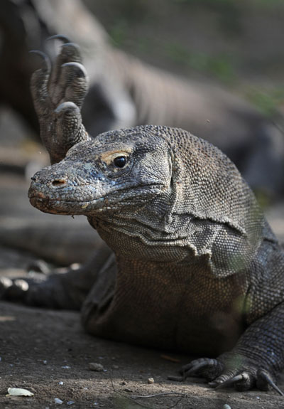 Дракон Komodo. Фото: ROMEO GACAD/AFP/Getty Images