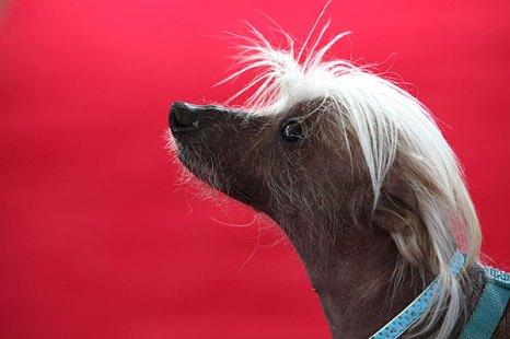 Претенденты на самую уродливую собаку. Фото: Justin Sullivan/Getty Images