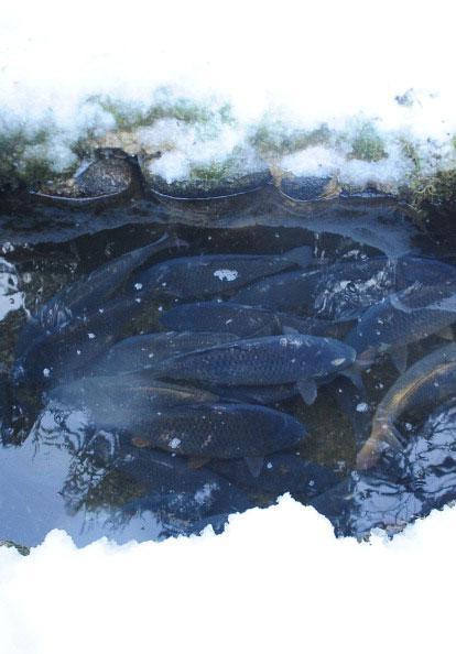 Карпы в садке рыбоводческого хозяйства в долине Demanovska, Татры. Фото: JOE KLAMAR/AFP/Getty Images