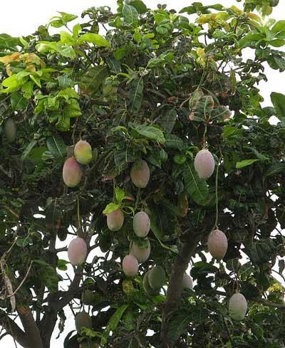Индия. Сезон манго.  Фото: Татьяна Виноградова/Великая Эпоха