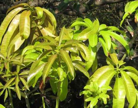 Молодые листья манго.  Фото: Татьяна Виноградова/Великая Эпоха