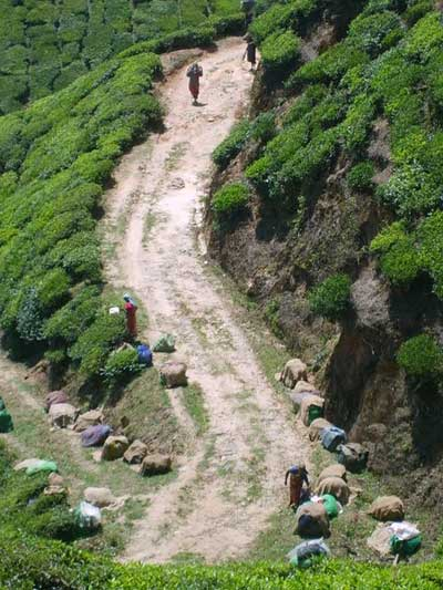 Индия. Чайные плантации в Муннар, штат Керала. Фото: Рашель Фурне-Файярд(Франция)