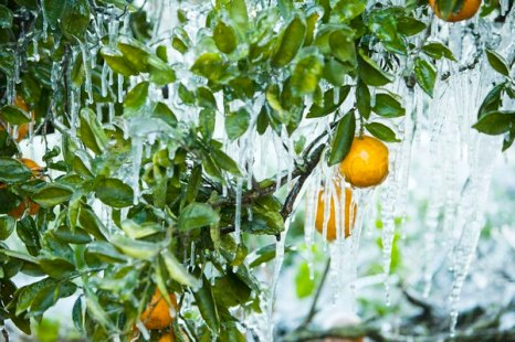 Флорида: урожай цитрусовых под угрозой. Фото: Matt Stroshane/Getty Images