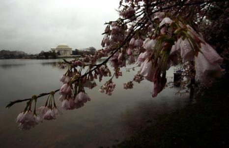 Фестиваль Черри Блоссом (Cherry blossom) - время цветения японских вишен – это своеобразный праздник. Вашингтон, округ Колумбия. Фотообзор. Фото:  Getty Images