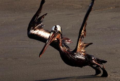 Разрастающееся нефтяное пятно в Мексиканском заливе. Коричневый пеликан, покрытый слоем  нефти, плавает в водах залива. Фоторепортаж. Фото: Win McNamee/Getty Images