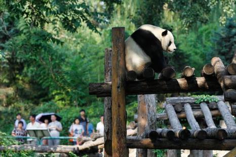 Панды в Пекинском зоопарке. Фото: Lintao Zhang/Getty Images