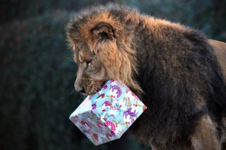 Лев с новогодним подарком. Фото: Carl Court/AFP/Getty Images