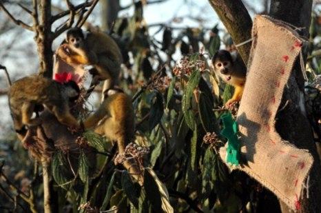 Беличьи обезьянки саймири вытаскивают еду из чулка для рождественских подарков во время рождественской фотосессии в Лондонском зоопарке 12 декабря 2012 г. Фото: Carl Court/AFP/Getty Images