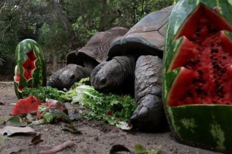 Черепахи Альдабры получают праздничное угощенье в зоопарке Taronga 14 декабря 2012 г. в Сиднее. Фото: Lisa Maree Williams/Getty Images)