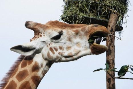 Жираф получает праздничное угощение в зоопарке Taronga 14 декабря 2012 г. в Сиднее, Австралия. Фото: Lisa Maree Williams/Getty Images