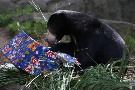 Солнечный медведь получает праздничное угощение в зоопарке Taronga 14 декабря 2012 г. в Сиднее. Фото: Lisa Maree Williams/Getty Images
