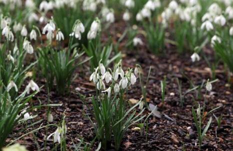 Подснежники - вестники весны распустились в национальном парке Кингстона. Фото: Matt Cardy/Getty Images